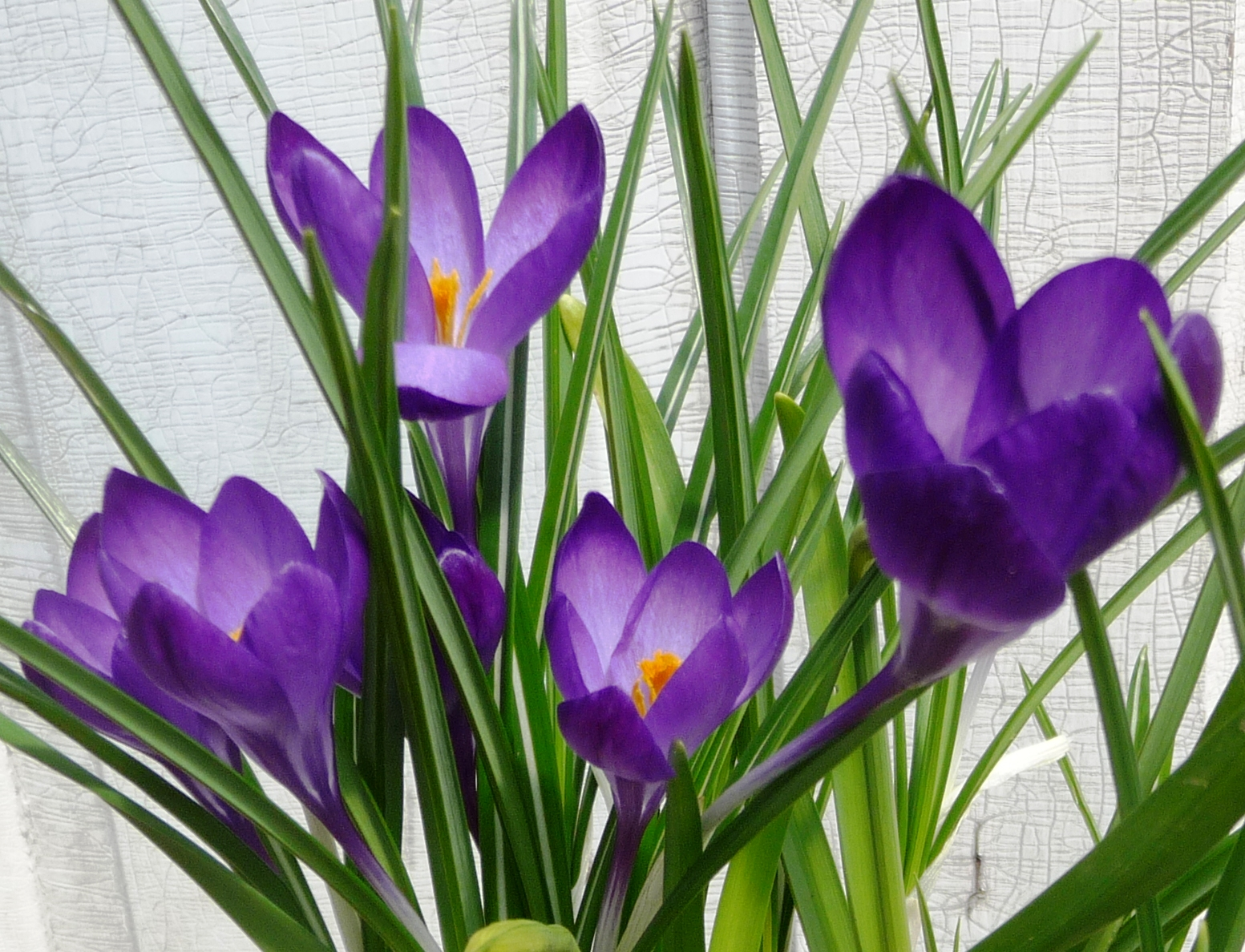 how to grow crocus bulbs in pots