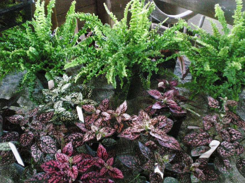 terrarium plants2 linden hill gardens jerry fritz. Black Bedroom Furniture Sets. Home Design Ideas