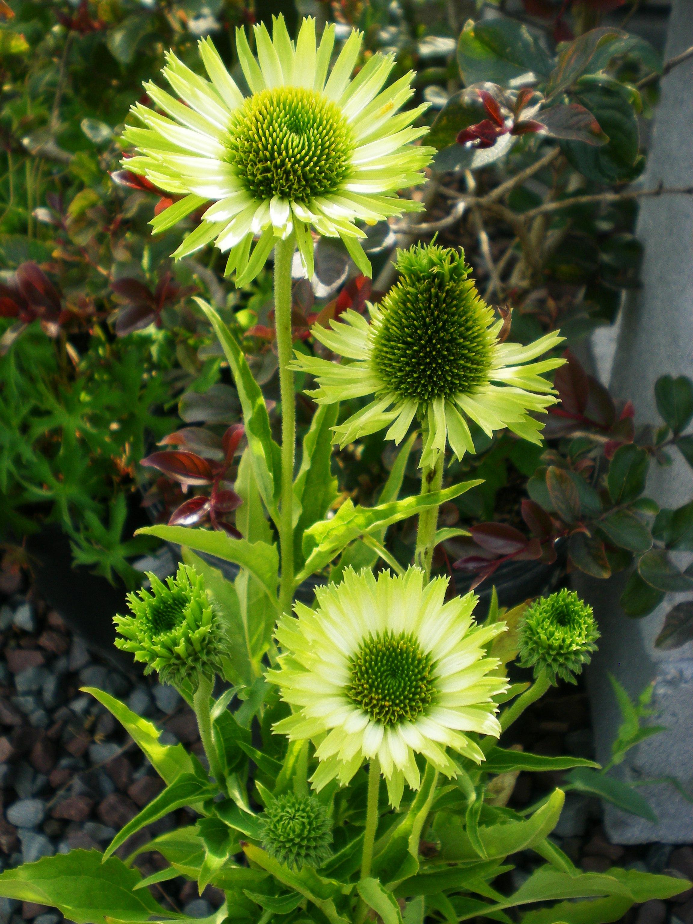 echinacea guava ice the deer will eat this but i love. Black Bedroom Furniture Sets. Home Design Ideas