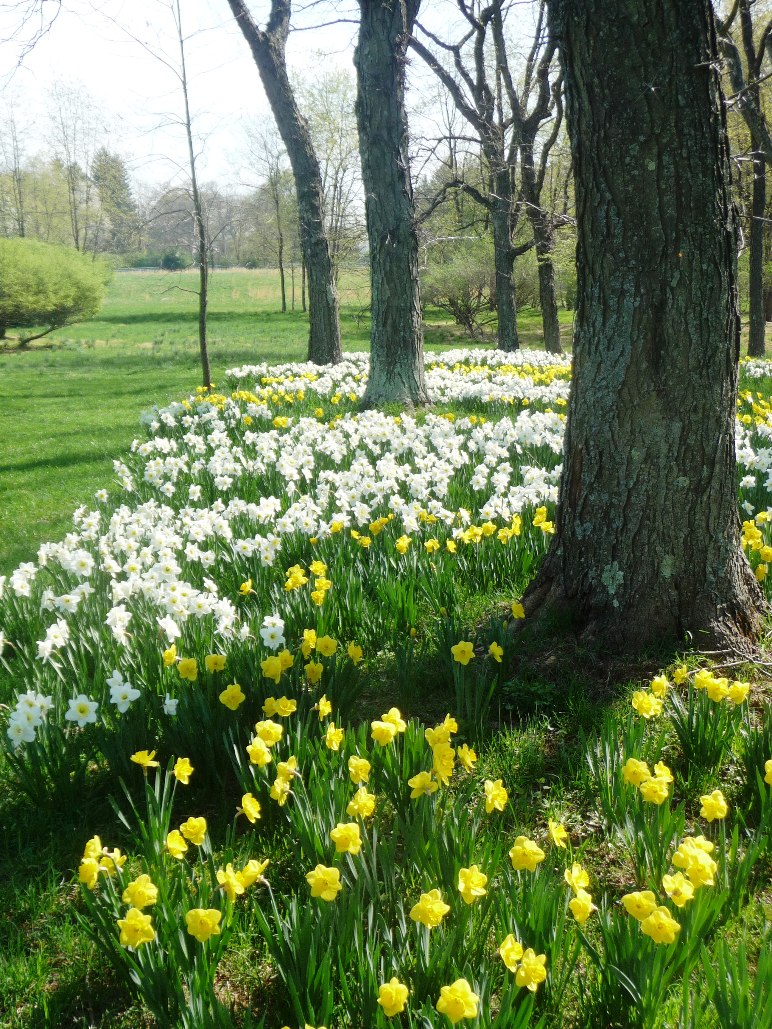 When how to plant daffodil bulbs - Narcissus