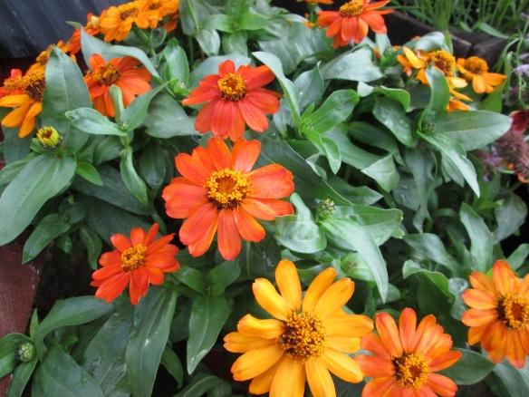 Zinnia 'Orange Profusion'