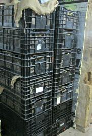 Dahlia stacked