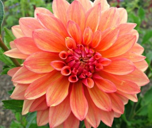 Save your dahlias!