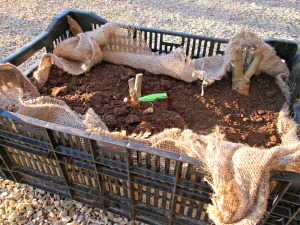 Saving Dahlias in Crates and Peat