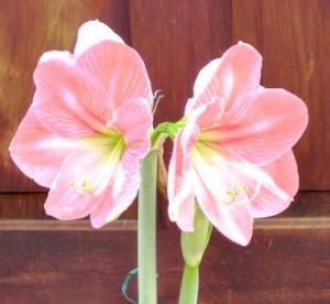 Amaryllis Appleblossom closeup