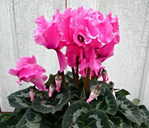 Ruffled Pink Cyclamen