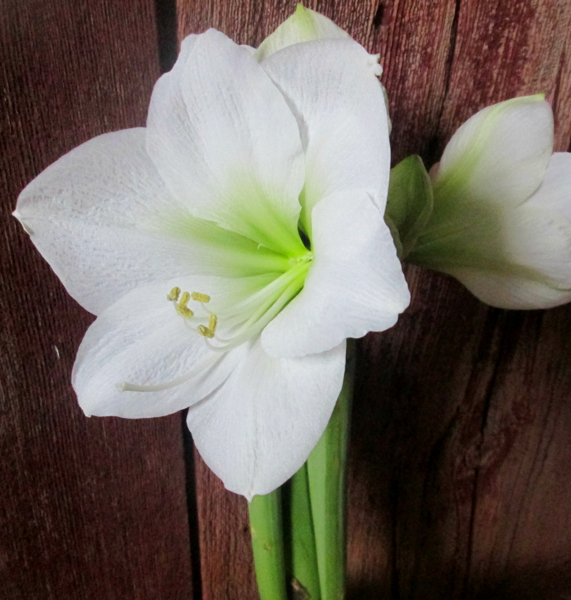 Saving your amaryllis tips for winter linden hill for Amaryllis bulbe conservation