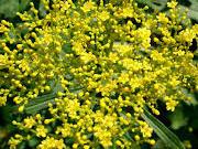 patrina scabiosifolia