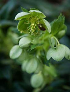green-hellebore-with-bee