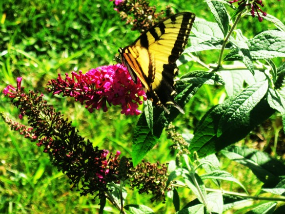 august in the garden butterfly bush