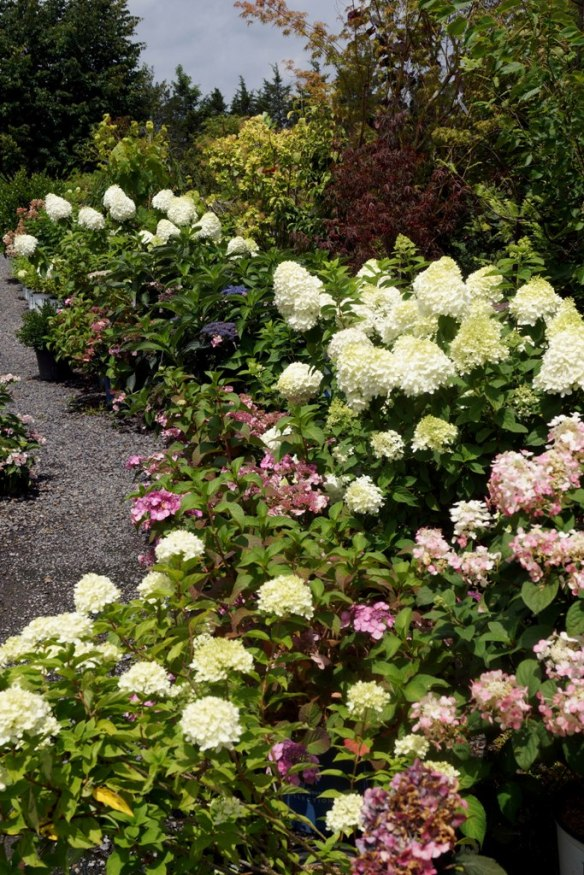 Hydrangeas for Sale at LHG