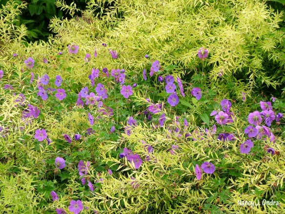 spiraea-mellow-yellow-and-geranium-rozanne-ondra